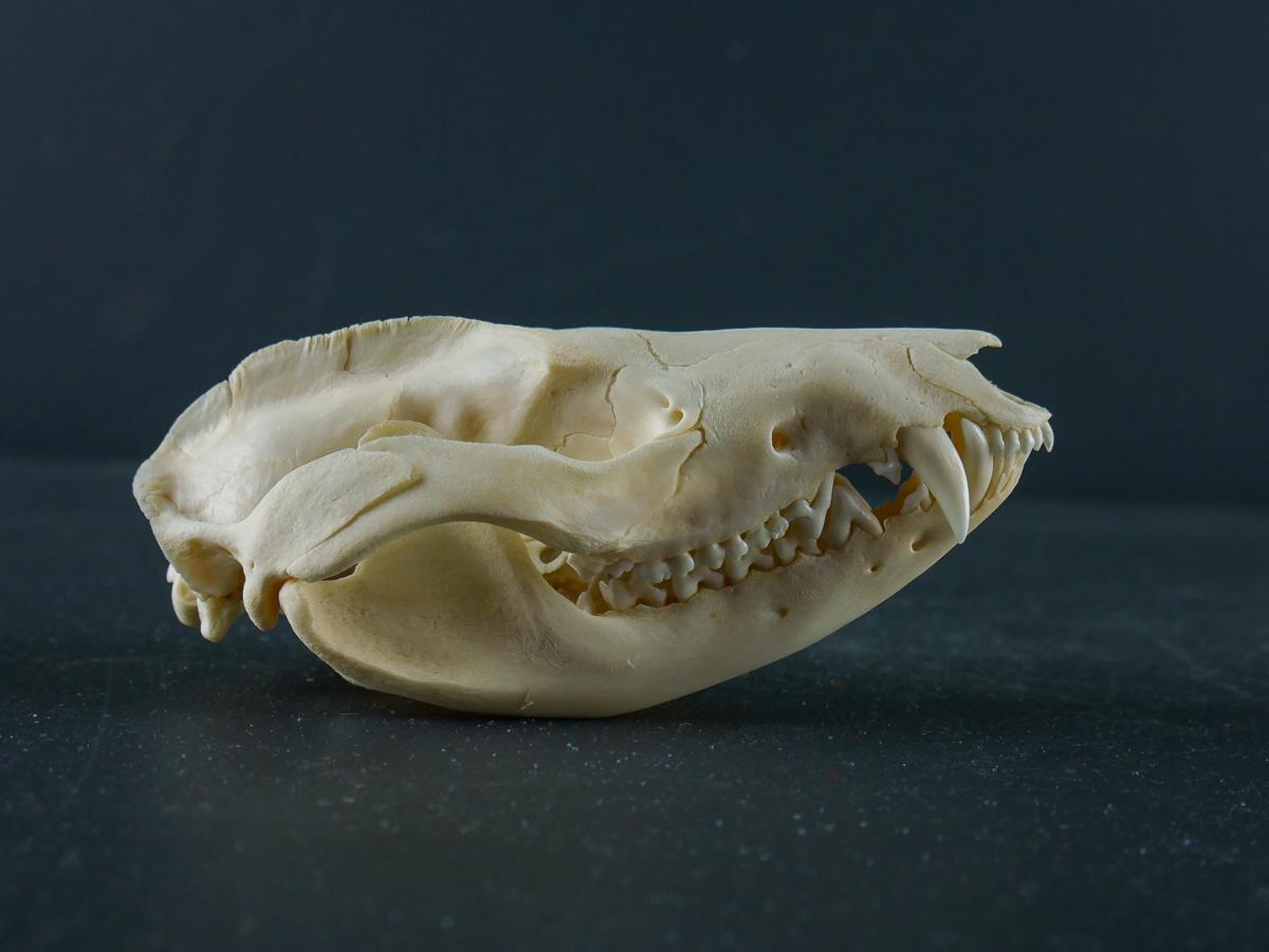 Black-eared Opossum Skull for sale - Skulls - Antlers ...